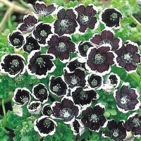 種 花たね ネモフィラ ペニーブラック 1袋(200mg) / 花種 花の種 はなたね 鉢植え向き 鉢向き 花壇向き プランター向き 鉢・花壇向き