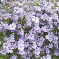 種 花たね ビスカリア ブルーエンジェル 1袋(100mg) / 花種 花の種 はなたね コムギセンノウ 鉢 花壇 プランター ブルーガーデン 青い花