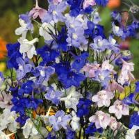 種 花たね 矮性デルフィニウム混合 1袋(100mg) / 花種 花の種 はなたね デルフィニューム