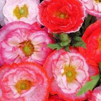 種 花たね 虞美人草 フォーリンラブミックス 1袋(20mg)