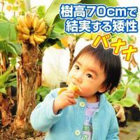 果樹苗 バナナ 苗木 ドワーフモンキーバナナ 1株 / 苗 バナナの木 矮性