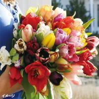 学名 Tulipa 商品情報 高級品種が8-10品種入る♪花は咲くまでのお楽しみ♪ お届け状態 球根...