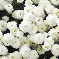 種 花たね アキレア ダブルダイヤモンド 1袋(10mg)