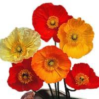 種 花たね アイスランドポピー 1袋(60mg) / 花種 花の種 はなたね シベリアヒナゲシ パパベル 鉢植え向き 鉢向き 花壇向き プランター向き 鉢・花壇向き