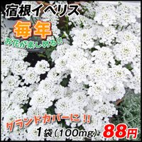花たね 種 多年草 宿根イベリス 1袋(100mg) / タネ 種 国華園