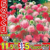 種 花たね 多年草 クナウティア メルトンパステルミックス 1袋(25粒)