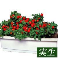 商品情報 草丈約30cmで支柱不要のミニトマト。コンパクトにまとまり、入念にわき芽をとらなくてもOK...