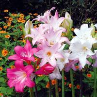 学名 Amaryllis belladonna 商品情報 花の少ない夏から秋に花径12cmほどのゆり...