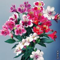 カラフルで豪華 商品情報 蝶のような華やかさで大人気。うまく管理すれば四季咲きになり、長く楽しめます...