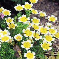 種 花たね リムナンテス 1袋(400mg) / 花種 花の種 はなたね ポーチド・エッグ・プランツ ポーチドエッグプランツ 鉢 花壇 プランター