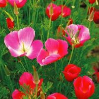 種 花たね カリフォルニアポピー ピンク 1袋(500mg)