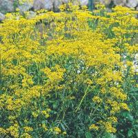 種 花たね 名古屋おみなえし 1袋(20粒) / 花種 花の種 はなたね 女郎花 秋の七草 鉢植え向き 鉢向き 花壇向き プランター向き 鉢・花壇向き