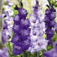 春植え球根 グラジオラス紫セット 2色20球 (各10球) / 球根
