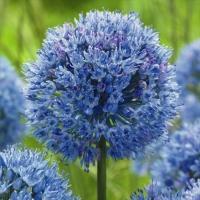 学名 Allium caeruleum 商品情報 花壇の主役はもちろん、切花で個性的なアレンジにする...
