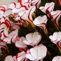 学名 Oxalis versicolor 商品情報 愛らしい花は日中に開き、夜や曇りの時は閉じます。...