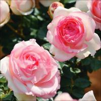 激安バラ苗 商品情報 世界バラ連合殿堂入りした、つるバラの代名詞品種。花付き抜群! お届け状態 接木...