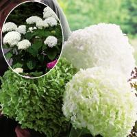 大人気巨大花! 商品情報 顔より大きい花が付くインクレディボール!黄緑→白→緑色と色の変化が楽しい超...
