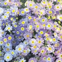 種 花たね ブラキカム ライラック 1袋(100mg) / 花種 花の種 はなたね 鉢 花壇 プランター ブラキスコメ 宿根ヒメコスモス