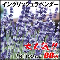 種 花たね イングリッシュラベンダー 1袋(150mg) / 花種 花の種 はなたね 鉢植え向き 鉢向き 花壇向き プランター向き 鉢・花壇向き