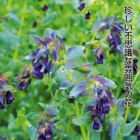 種 花たね セリンセ 1袋(500mg)