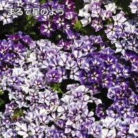 種 花たね 切花向き フロックス シュガースター 1袋(200mg)