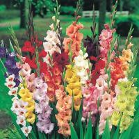 商品情報 栽培容易で切花にもピッタリ!※花色は偏る場合があります。掲載の品種が入るとは限りません。 ...