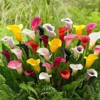 商品情報 花壇・切花にも。※花色が偏る場合があります。 お届け状態 球根 花期6月 草丈 30〜70...