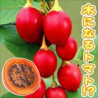 商品情報 「木になるトマト」として話題沸騰のとっても珍しい高級果物!真っ赤に熟した果実はまるでフルー...