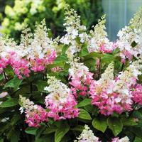 商品情報 大きな円錐状の白花が、咲き進むにつれ、花穂の半ばからピンク色に変化!見事なツートンカラーで...