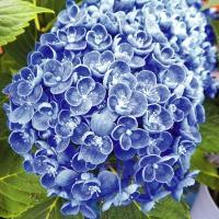 商品情報 ポップコーンのように、 花びらの端がくるりと 丸まって、何とも愛らし い花姿。思わず目が奪...