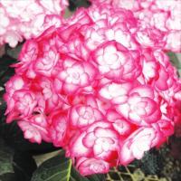商品情報 見惚れるような綺麗なピンクの八重咲花。2014年のRHS賞を受賞した品種。京都で作出されま...