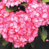 商品情報 フリル上の花弁が珍しいアジサイ。鮮やかな濃いピンクが花弁の縁を彩ります。耐寒性があり、切花...