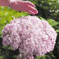 商品情報 インクレディボールのピンクが登場!幅が最大25cm程度にもなる巨大輪で切花にしても素敵。 ...