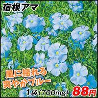 種 花たね 宿根アマ 1袋(700mg) / 花種 花の種 はなたね 宿根亜麻 リナム ペレンネ ペレニアルフラックス フラックス ブルーガーデン 青い花 鉢 花壇
