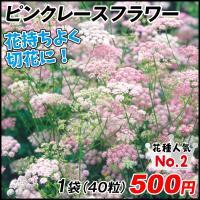 種 花たね 多年草 ピンピネラ ピンクレースフラワー 1袋(40粒)