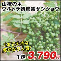 商品情報 葉は香り付けに、未熟果はつくだ煮に、完熟果は香辛料にと、山椒は用途多彩な木ですが、突然枯れ...