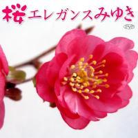 商品情報 晩秋から春まで咲き続ける、花期の長い桜です。育成が比較的遅く庭植に最適! お届け状態 12...
