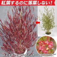 商品説明 今までにないドドナエアの小葉品種。常緑樹で秋冬は紅葉し春になると緑葉に戻る不思議な花木。病...