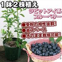 商品情報 1鉢2株植えラビットアイ系ブルーベリー。受粉の相性抜群、省スペース、そのまま栽培可能! お...
