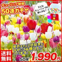 学名:Tulipa 商品情報:昨年人気の企画を今年も販売決定!! 今期も感謝の気持ちを込めてレア品種...