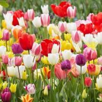学名:Tulipa 商品情報 昨年人気企画を今年も販売します!! 今期も感謝の気持ちを込めてレア品種...