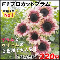 種 花たね ヒマワリ F1プロカットプラム 1袋(25粒) / タネ 種 向日葵 サンフラワー 夏花 国華園
