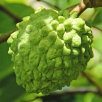 商品情報 果重約500gの大玉果は、甘味が強く美味。着花がよく、結実が安定して実るオススメ品種。 お...