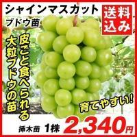 ブドウ 苗木 シャインマスカットP 挿木苗 1株 送料込み / ぶどう 葡萄 苗 ぶどうの木 ブドウの苗木 果樹苗