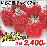 商品情報 通常のイチゴの1.5〜2倍にもなる大きな果実をつけるでっかいイチゴ。 濃赤色の美しい果実は...