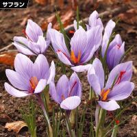 学名・英名 Crocus sativus 商品情報 とっても強健な性質で、なんと水や土がなくても栽培...
