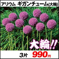 秋植え球根 アリウム ギガンチューム (大輪) 3片 / 花の球根 国華園