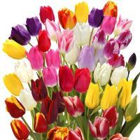 チューリップ 球根 5種ミックス (無選別) 30球 / チュウリップ 花の球根 国華園