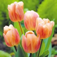 チューリップ 球根 アプリコットビューティ 20球 / チュウリップ 花の球根 国華園