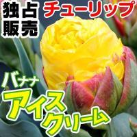 学名・英名 Tulipa Banana Ice Cream 分類 八重遅咲き Double Late...